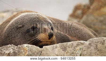 Southern fur seal sunning