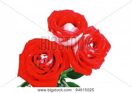 flowers : rose with green leaves isolated over white background