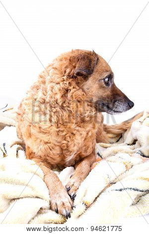 Red Dog On A Soft Yellow Blanket