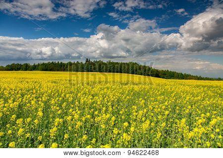 Yellow Colza Field