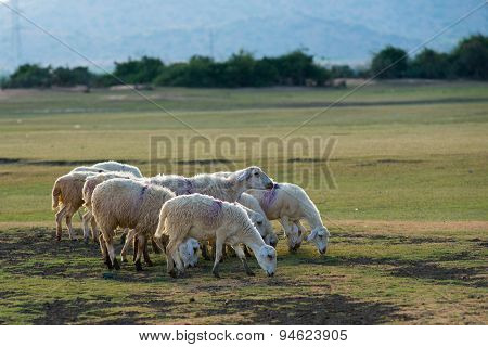 A herd of sheep in steppe in Ninh Thuan, Vietnam