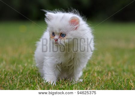 Young Persian Cat, Green Outdoor