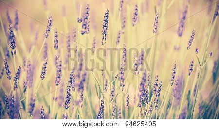 Vintage Toned Lavender Flower, Shallow Depth Of Field.