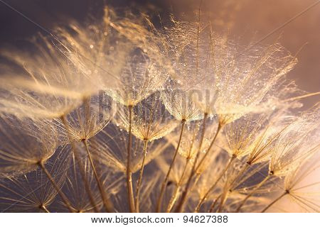 Beautiful dandelion with water drops on light background