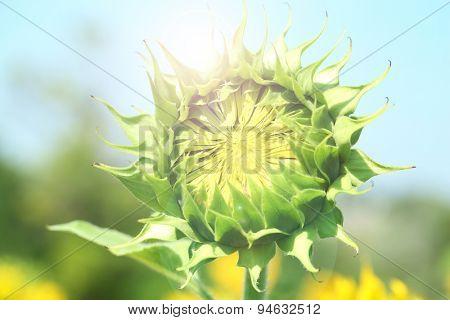 Beautiful bud of sunflower, close up