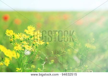 Beautiful daisy flowers in the field