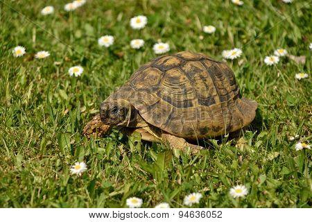 Male Hermann's Tortoise