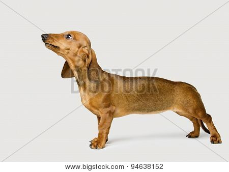 Dachshund Isolated Over White Background, Brown Dog Looking Up