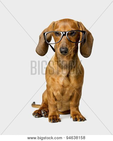 Dog In Glasses Isolated Over White Background, Smart Dachshund
