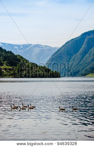 Wild geese in the Norwegian fjord