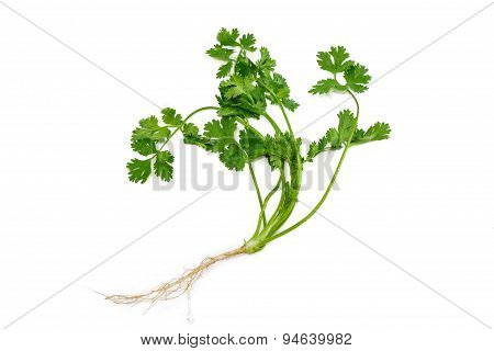 Stalk Of Coriander