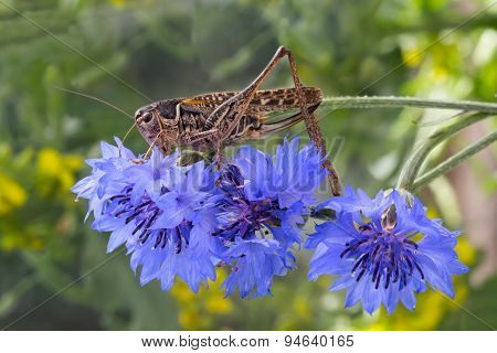 grasshopper sitting on a flowered cornflower
