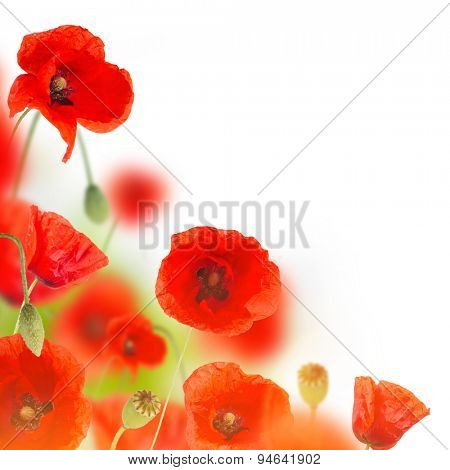 Poppy flowers field on white background, close-up.