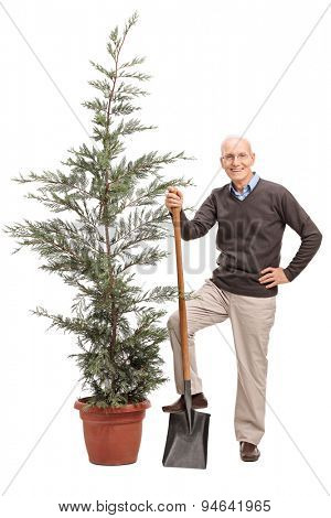 Full length portrait of a senior man holding a shovel and posing by a coniferous tree isolated on white background
