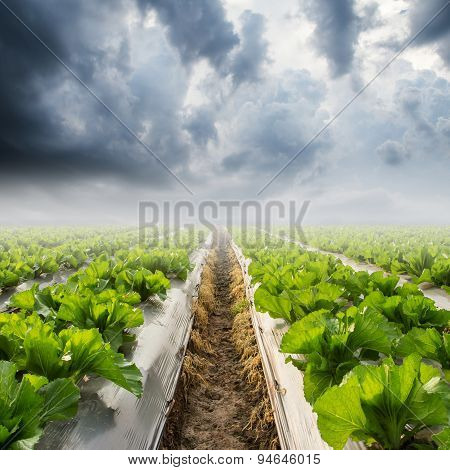 Lettuce On Field And Rainclouds