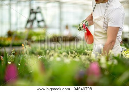 Worker watering flowers from the tables in greenhouse