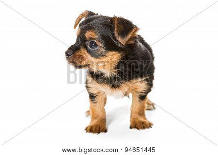 Little Yorkshire Terrier Puppy
