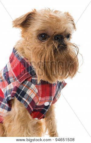 Dog Breed Brussels Griffon In Flannel Shirt