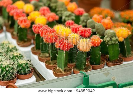 Colorful cacti in small pots on the table.