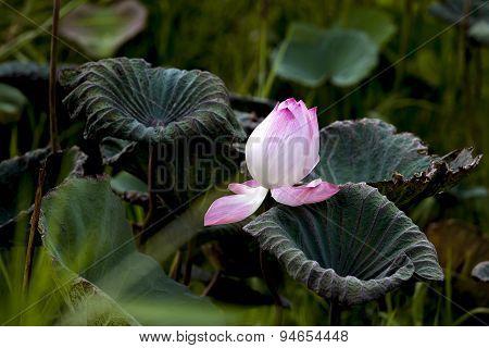 ,beautiful Pink Lotus Flowers Blooming