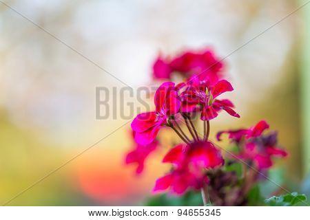 Beautiful Red Geranium Flowers