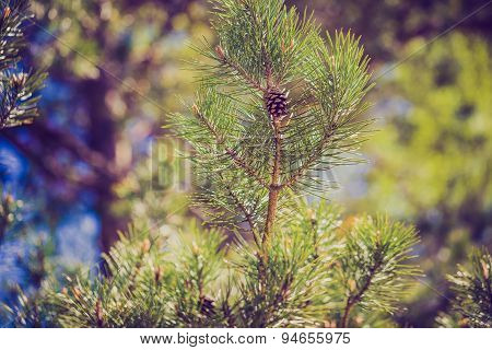 Pine Forest With Vintage Mood Effect
