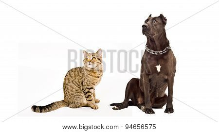 Staffordshire Terrier and cat Scottish Straight sitting together
