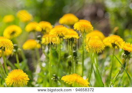 Beautiful Blooming Yellow Dandelions