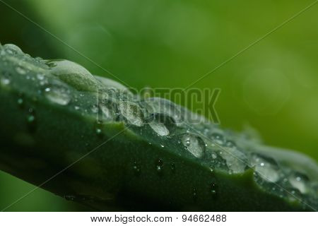 Drops Of Water On  Leaf Stalk