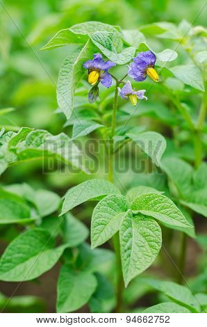 Purple Flowers And Leaves Of Ripe Potatoes