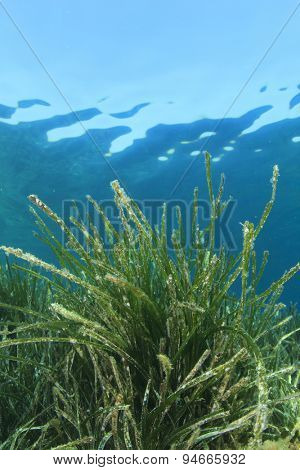 Underwater green sea grass and blue ocean water