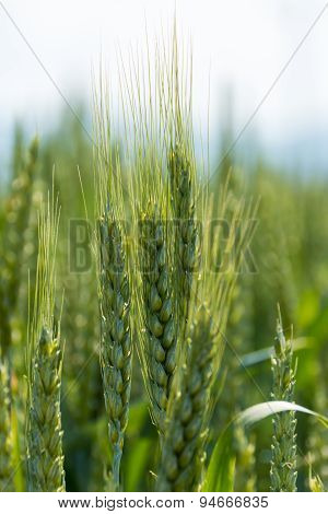 Green Wheatear