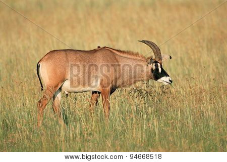 A a rare roan antelope (Hippotragus equinus) in grassland, South Africa