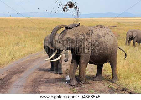 An African elephant (Loxodonta africana) showing mud, Masai Mara National Reserve, Kenya