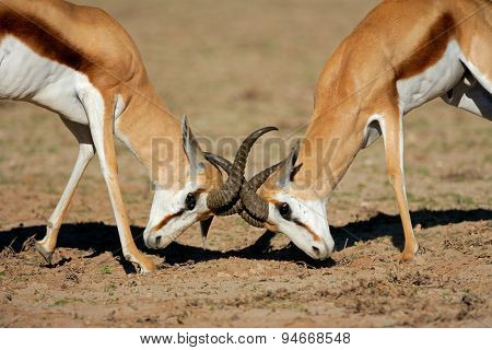 Two male springbok antelopes (Antidorcas marsupialis) fighting for territory, Kalahari desert, South Africa