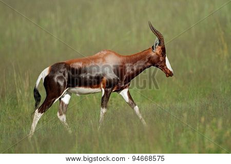 A blesbok antelope (Damaliscus pygargus) walking in grassland, South Africa