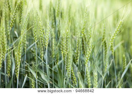 Wheat Kernels Before Harvest