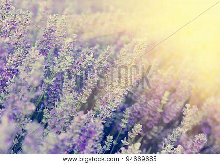 Beautiful Vintage Lavender Flower Photo In Sunset