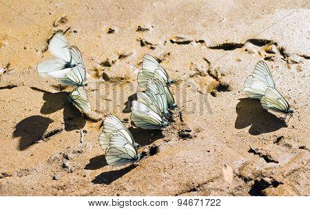 Thorn butterfly (pierid butterfly)