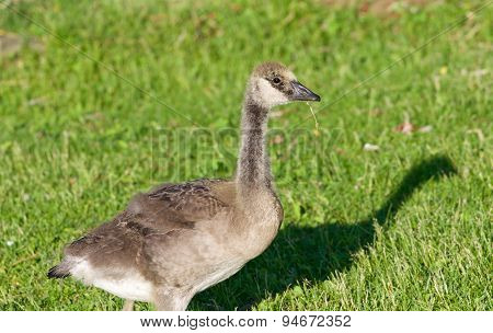 Young Cackling Goose Is Eating The Grass On The Sunny Evening