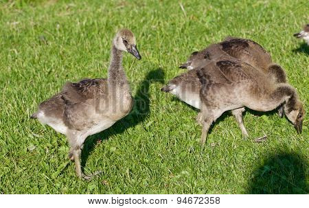 The Family Of The Young Cackling Geese Is Eating The Grass