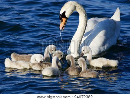 The Mother-swan Helps Her Chicks To Get The Algae From The Lake
