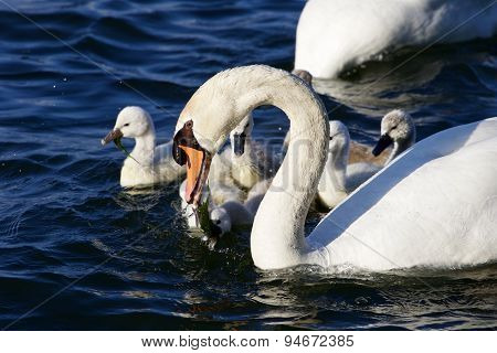 The Father-swan Is Taking Care About His Children