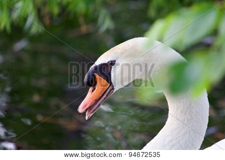 Confident Strong Mute Swan Is Screaming