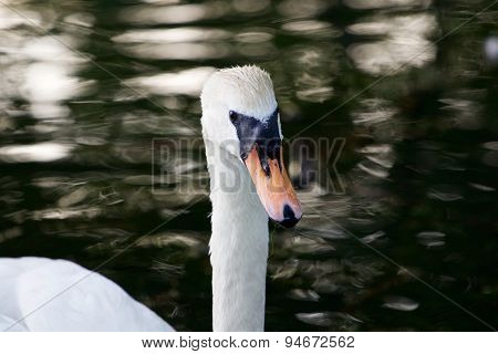 The Close-up Of The Mute Swan Female