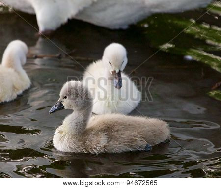 Cute Young Mute Swans Are Swimming In The Lake On The Evening