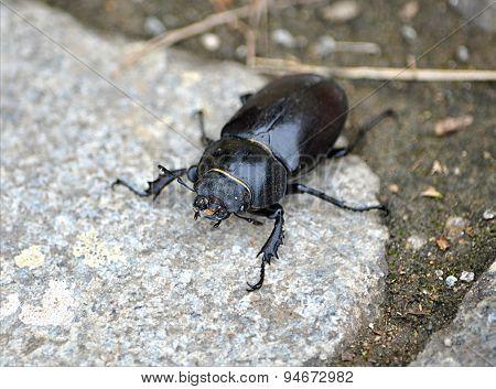 big black beetle, stag beetle