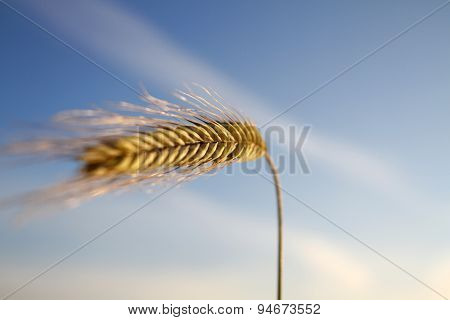 Close Up Of Golden Wheat Ear In Summertime