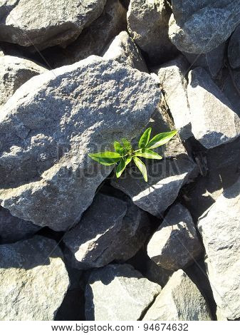 Plant In Rocks