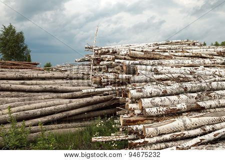 Trunks of trees cut